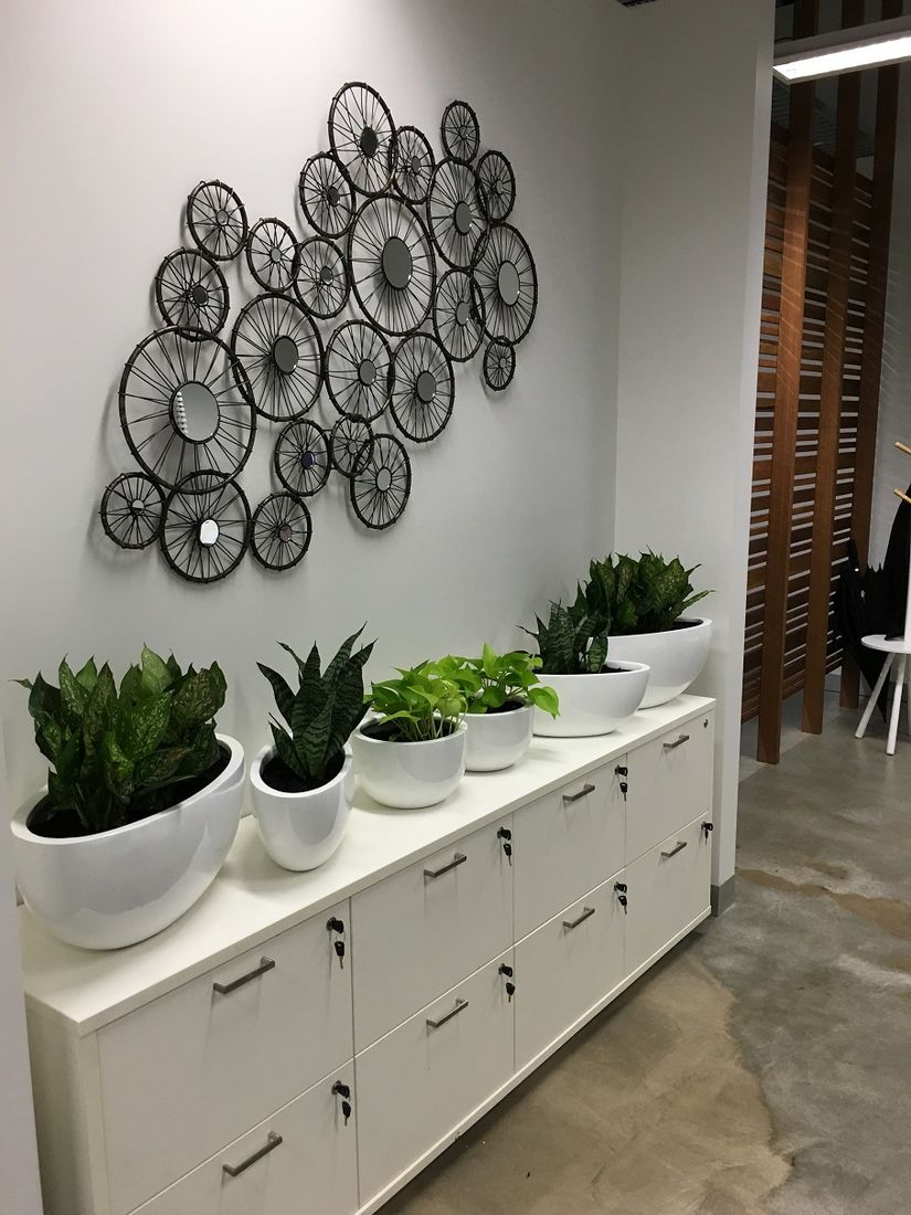 Sansevieria - Indoor Plant Hire